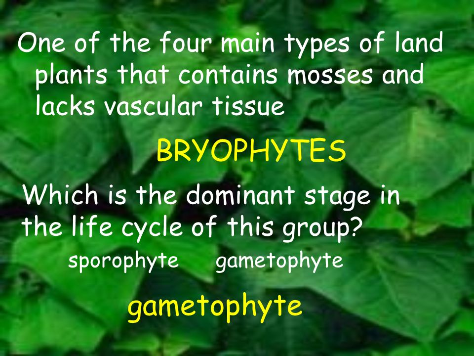 BRYOPHYTES gametophyte