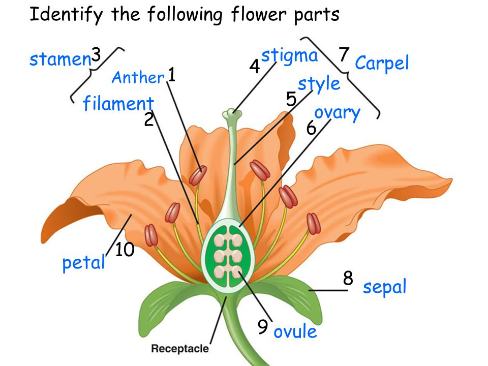 Identify the following flower parts
