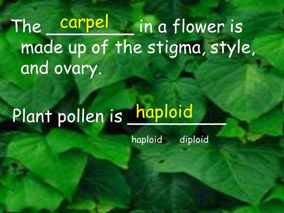 carpel The ________ in a flower is made up of the stigma, style, and ovary. haploid. Plant pollen is _________.