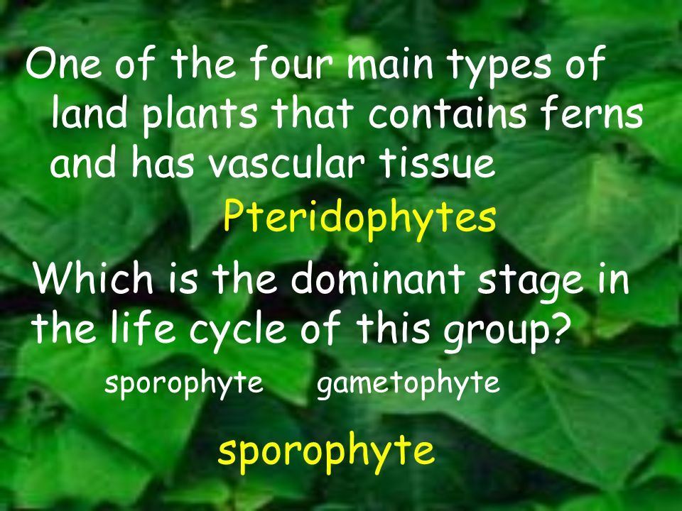 One of the four main types of land plants that contains ferns and has vascular tissue