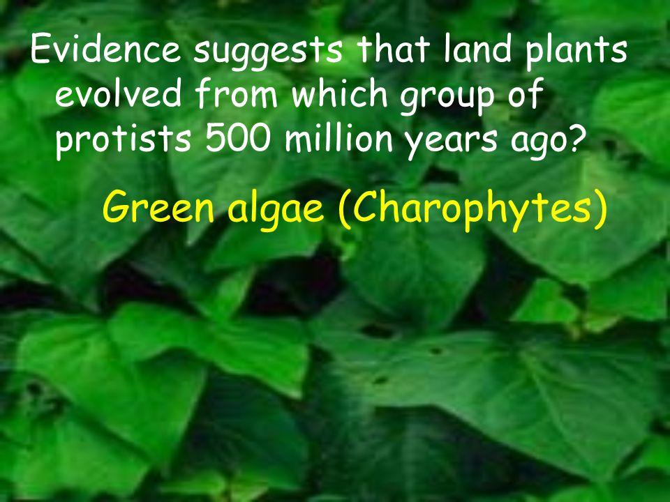 Green algae (Charophytes)