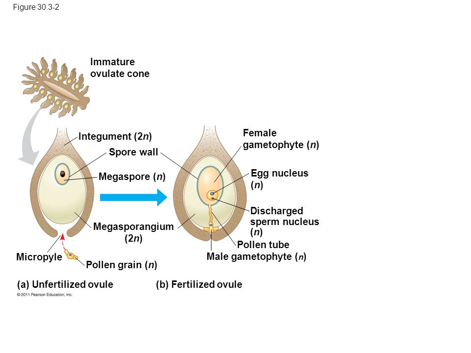 (a) Unfertilized ovule (b) Fertilized ovule