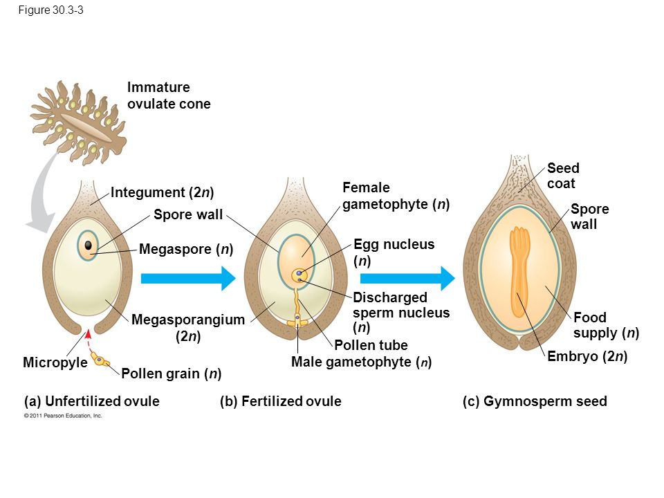 (a) Unfertilized ovule (b) Fertilized ovule (c) Gymnosperm seed