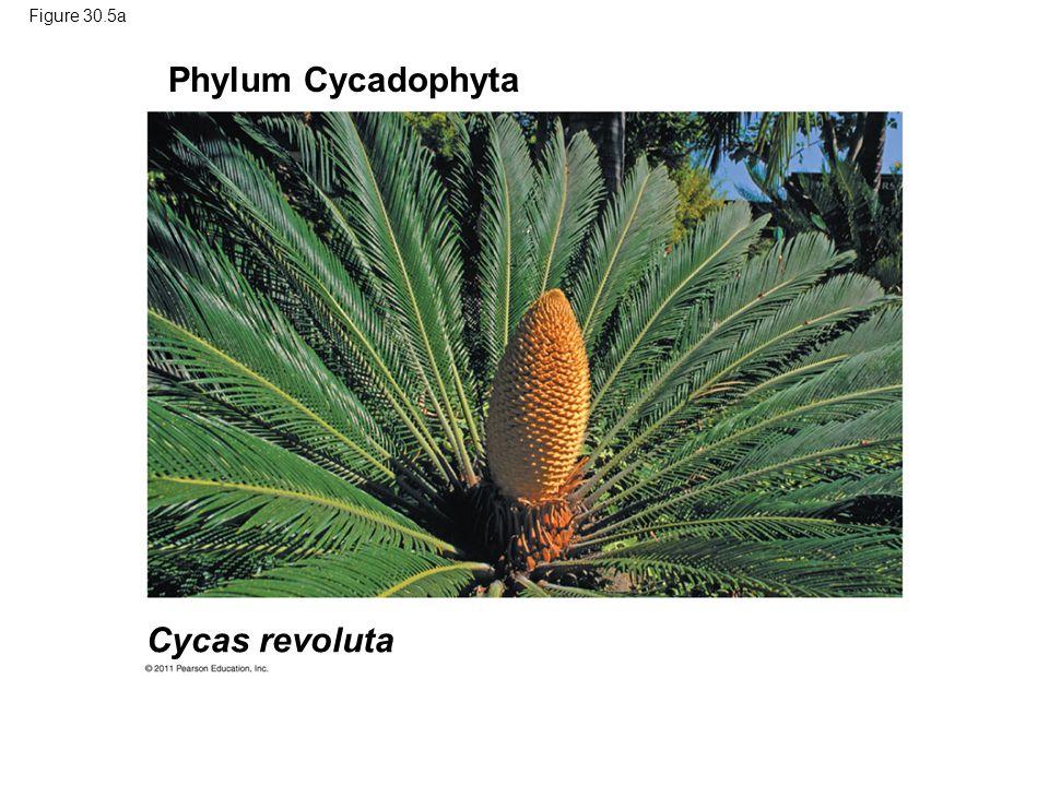 Phylum Cycadophyta Cycas revoluta Figure 30.5a
