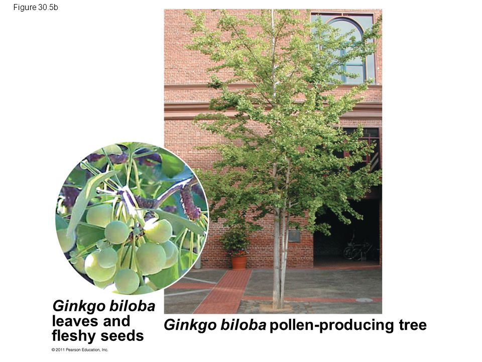 Ginkgo biloba pollen-producing tree