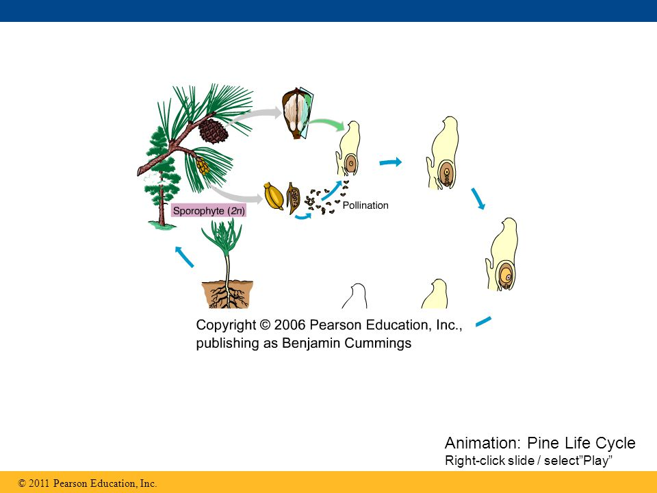 Animation: Pine Life Cycle Right-click slide / select Play
