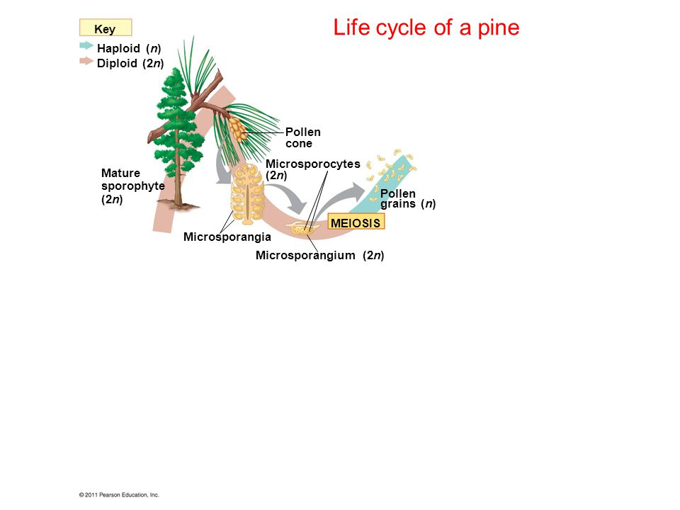 Life cycle of a pine Key Haploid (n) Diploid (2n) Pollen cone