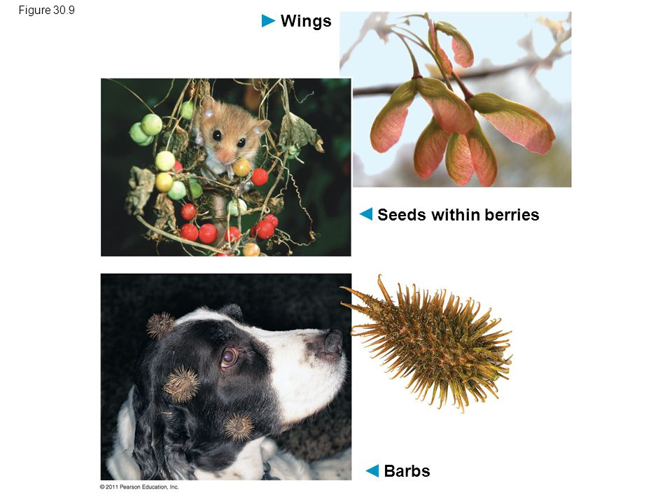 Wings Seeds within berries Barbs Figure 30.9