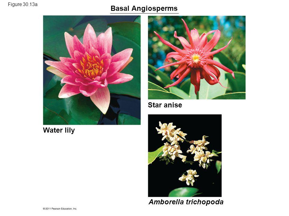 Basal Angiosperms Star anise Water lily Amborella trichopoda