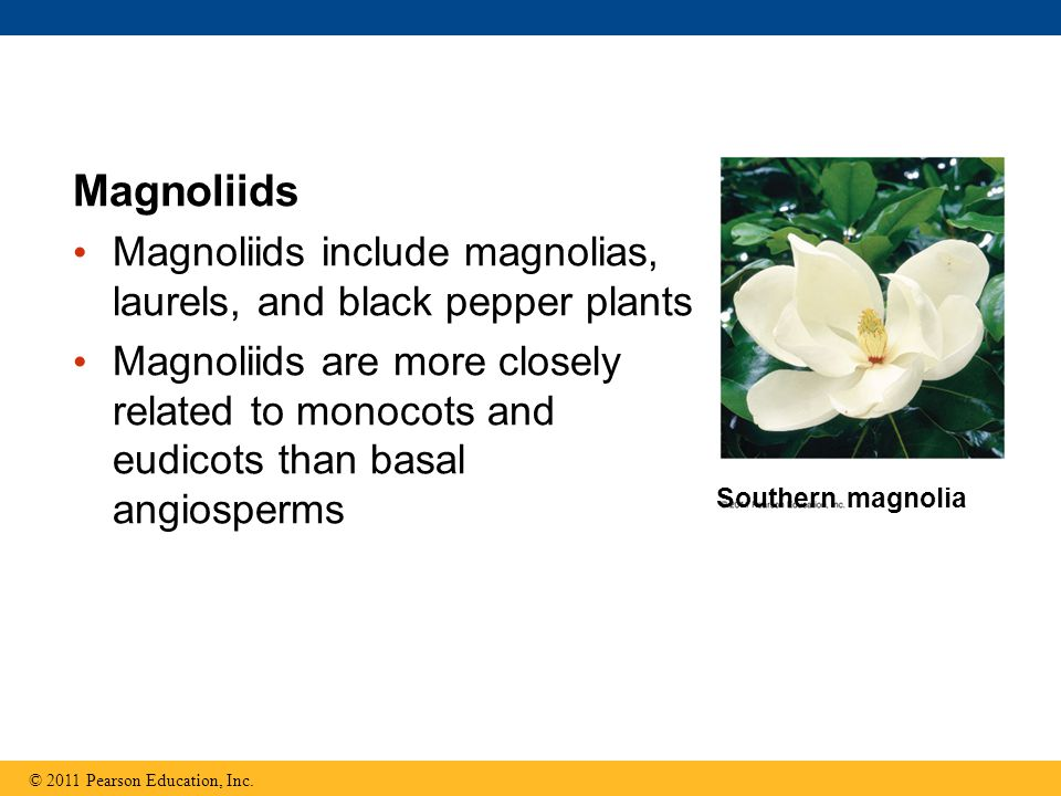 Magnoliids Magnoliids include magnolias, laurels, and black pepper plants.