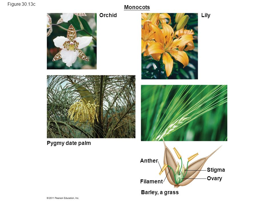Monocots Orchid Lily Pygmy date palm Anther Stigma Ovary Filament