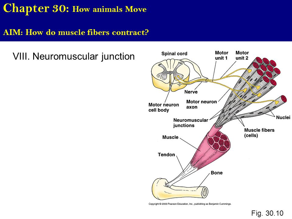 Chapter 30: How animals Move