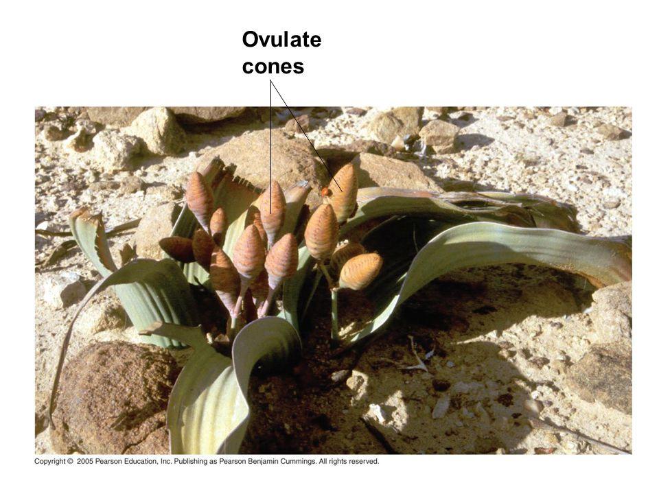 Ovulate cones