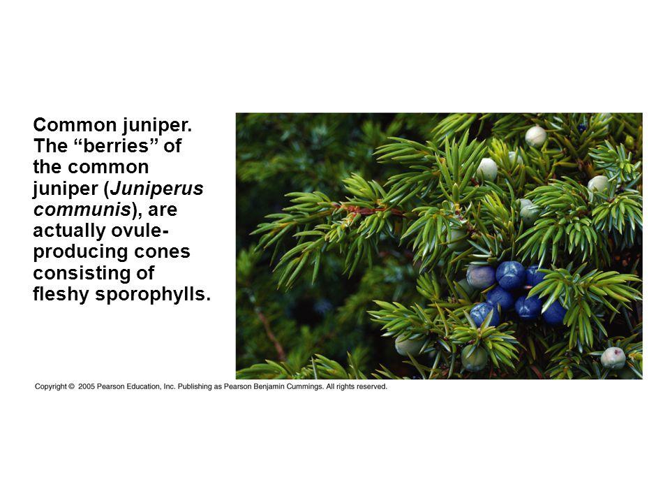 Common juniper.