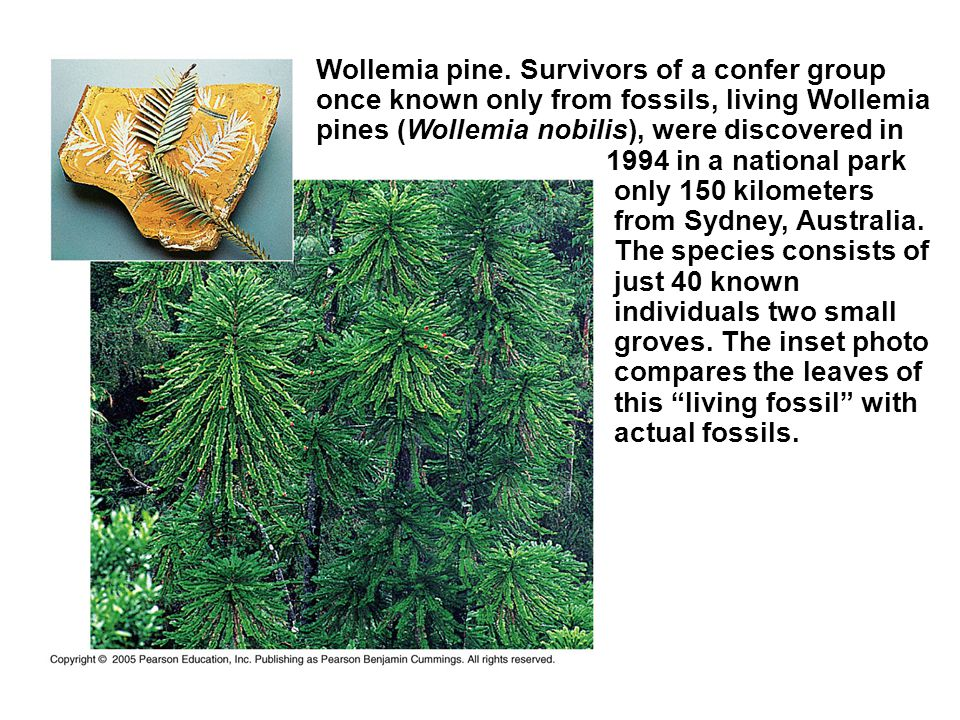 Wollemia pine. Survivors of a confer group