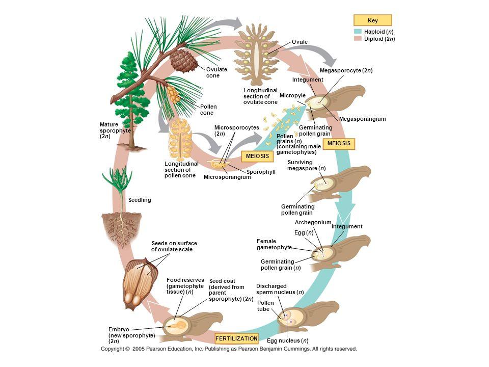 Key Haploid (n) Diploid (2n) Ovule. Ovulate. cone. Megasporocyte (2n) Integument. Longitudinal.