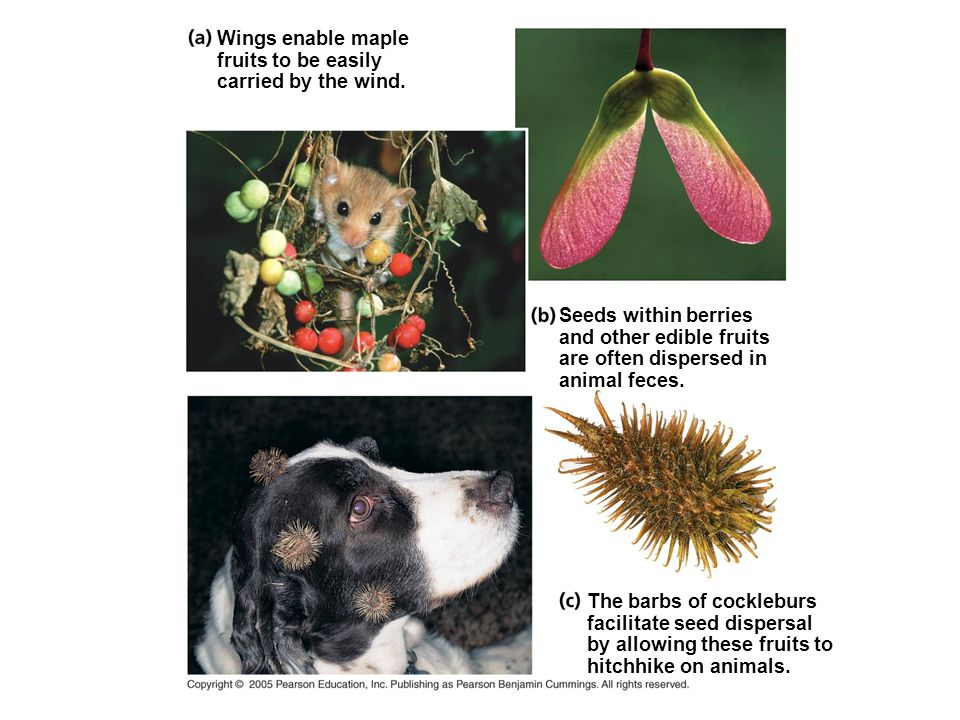Wings enable maple fruits to be easily. carried by the wind. Seeds within berries and other edible fruits are often dispersed in animal feces.