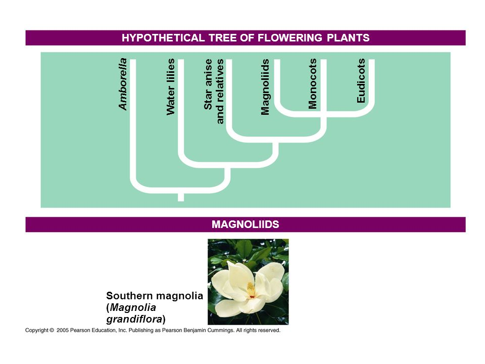 HYPOTHETICAL TREE OF FLOWERING PLANTS