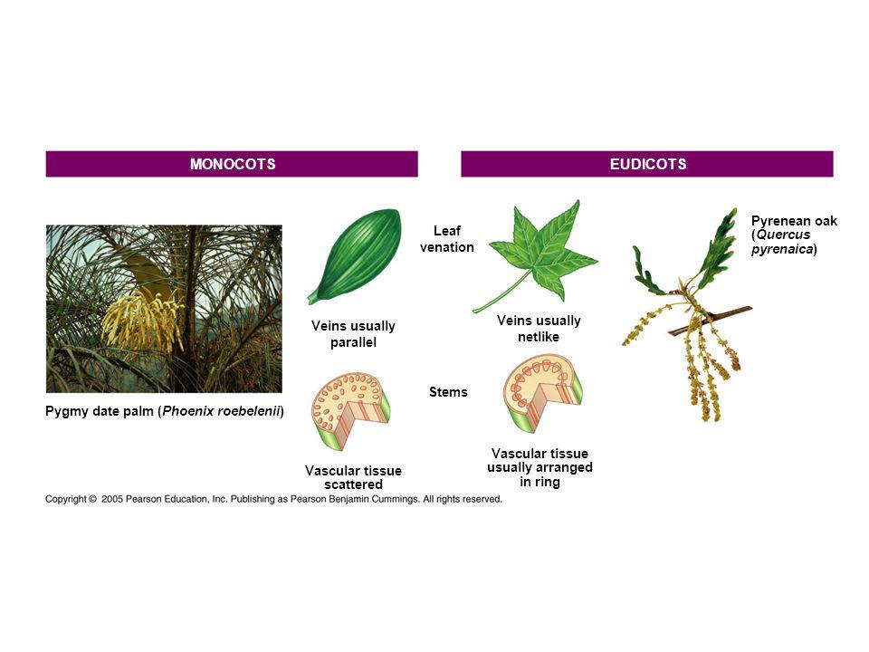 MONOCOTS EUDICOTS Pyrenean oak Leaf (Quercus venation pyrenaica)