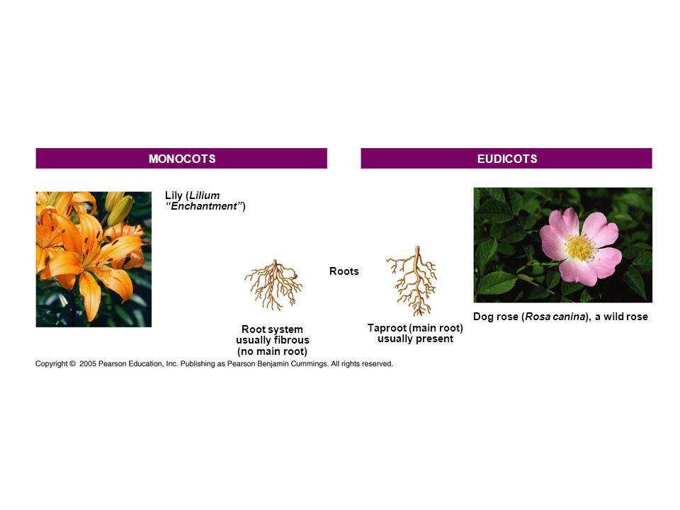 MONOCOTS EUDICOTS Lily (Lilium Enchantment ) Roots