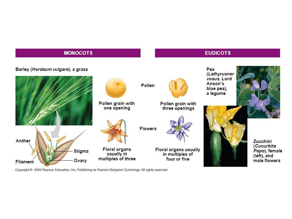 MONOCOTS EUDICOTS Barley (Hordeum vulgare), a grass Pea (Lathyrusner