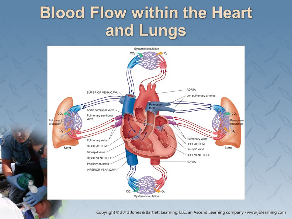 Blood Flow within the Heart and Lungs