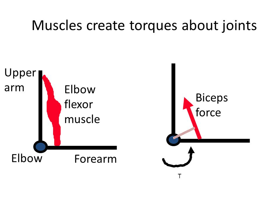 Muscles create torques about joints
