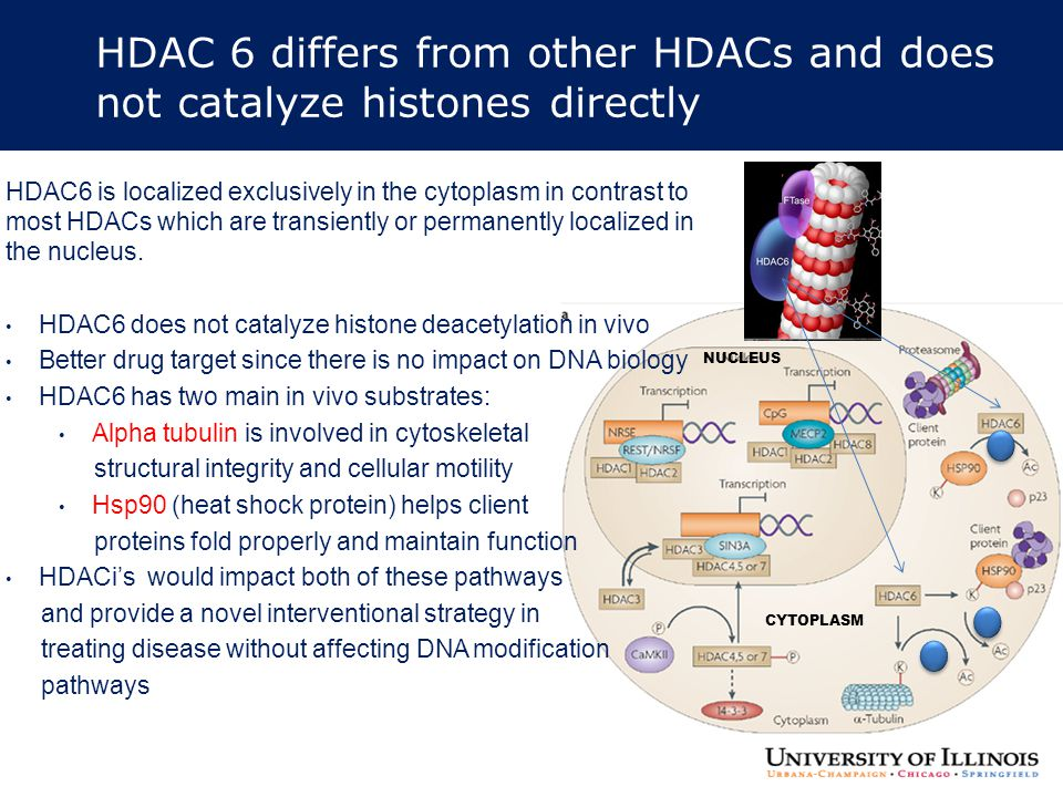 HDAC 6 differs from other HDACs and does not catalyze histones directly