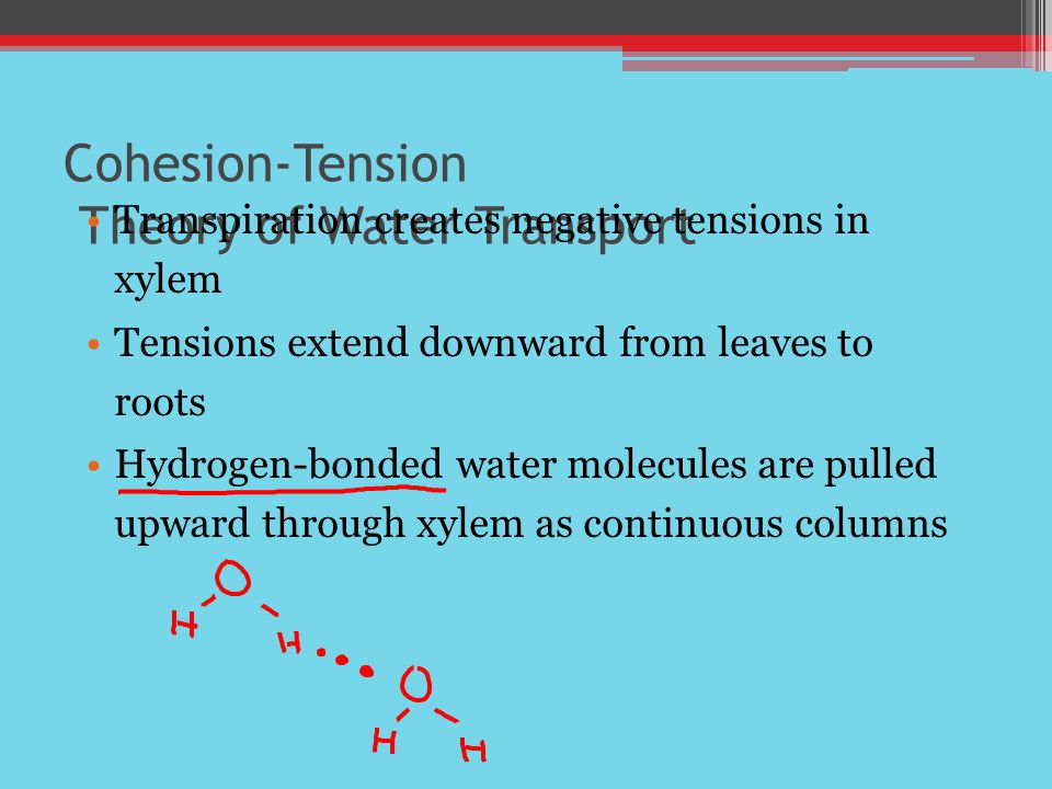 Cohesion-Tension Theory of Water Transport