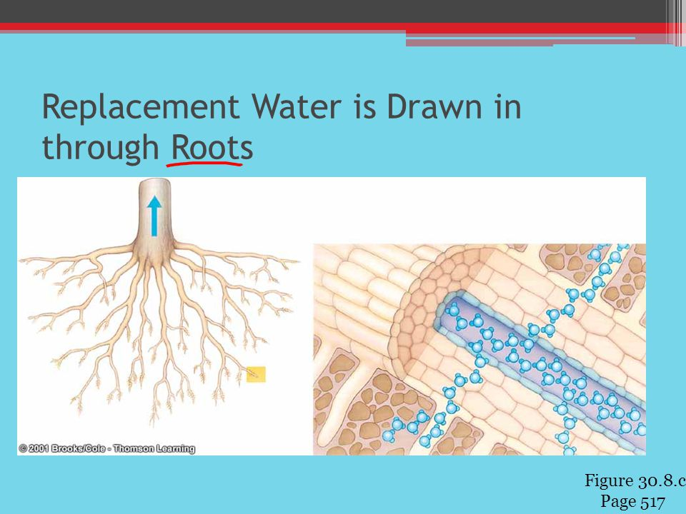 Replacement Water is Drawn in through Roots