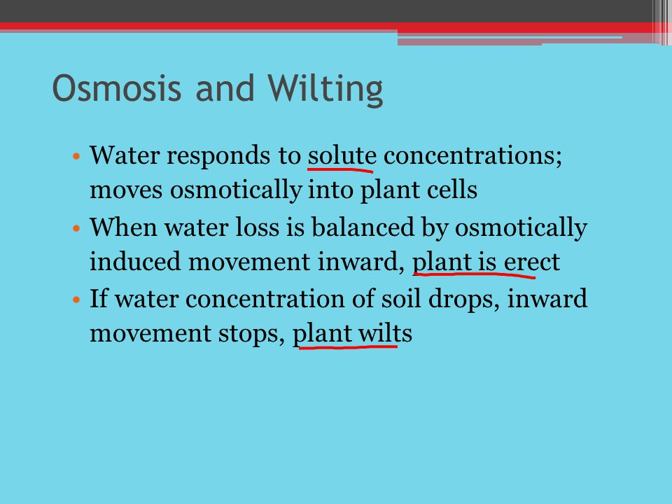 Osmosis and Wilting Water responds to solute concentrations; moves osmotically into plant cells.