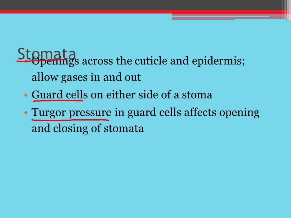 Stomata Openings across the cuticle and epidermis; allow gases in and out. Guard cells on either side of a stoma.