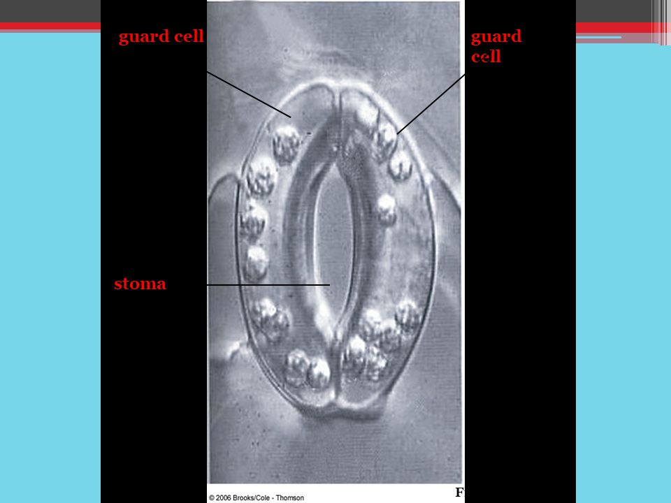 guard cell guard cell stoma Fig. 30-11a, p.519