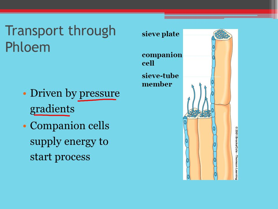 Transport through Phloem