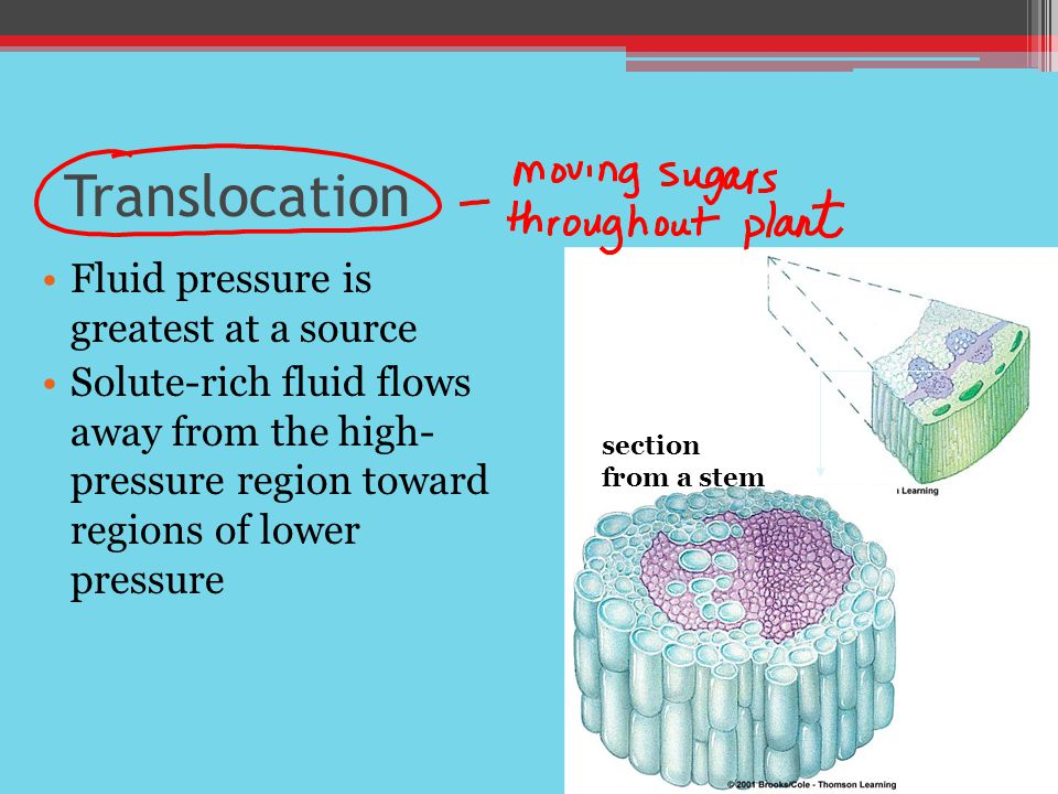 Translocation Fluid pressure is greatest at a source