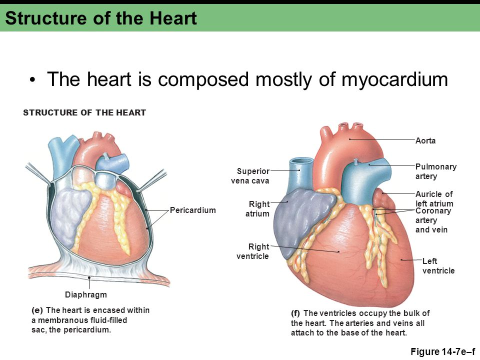 The heart is composed mostly of myocardium