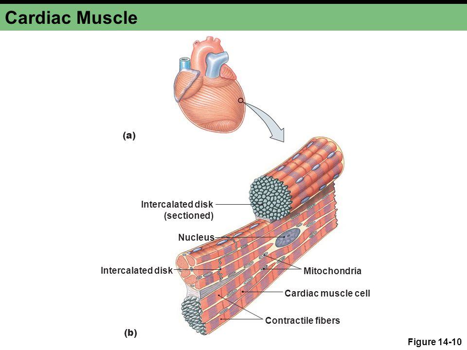 Cardiac Muscle (a) Intercalated disk (sectioned) Nucleus