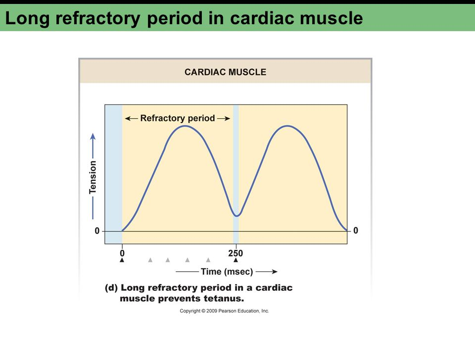 Long refractory period in cardiac muscle