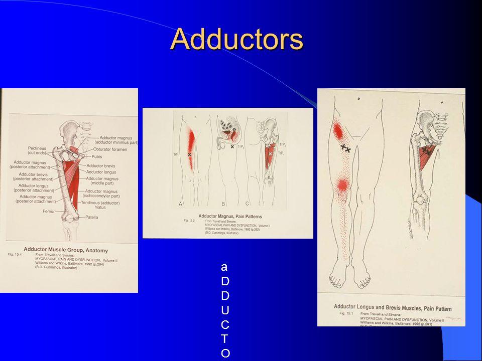 Adductors aDDUCTOR