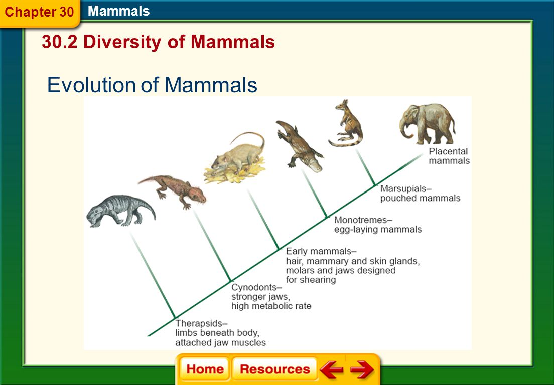 Chapter 30 Mammals 30.2 Diversity of Mammals Evolution of Mammals
