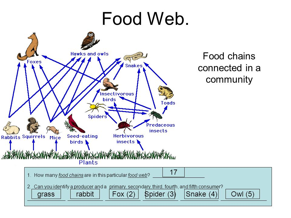 Food chains connected in a community