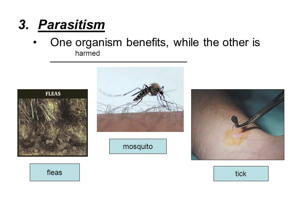 Parasitism One organism benefits, while the other is _____________________. harmed. mosquito. fleas.