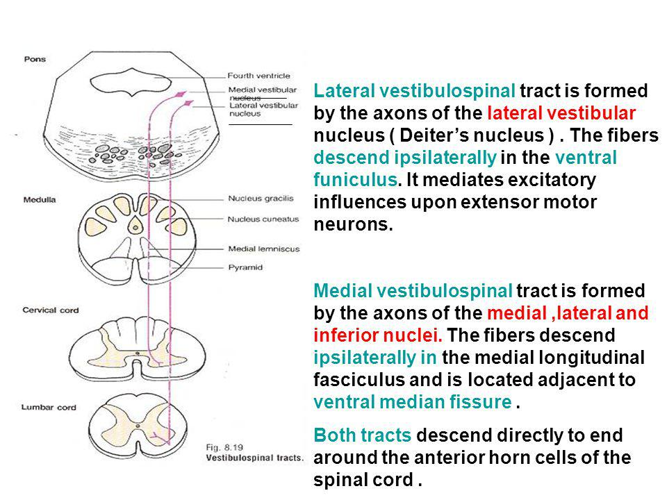 Lateral vestibulospinal tract is formed by the axons of the lateral vestibular nucleus ( Deiter's nucleus ) . The fibers descend ipsilaterally in the ventral funiculus. It mediates excitatory influences upon extensor motor neurons.