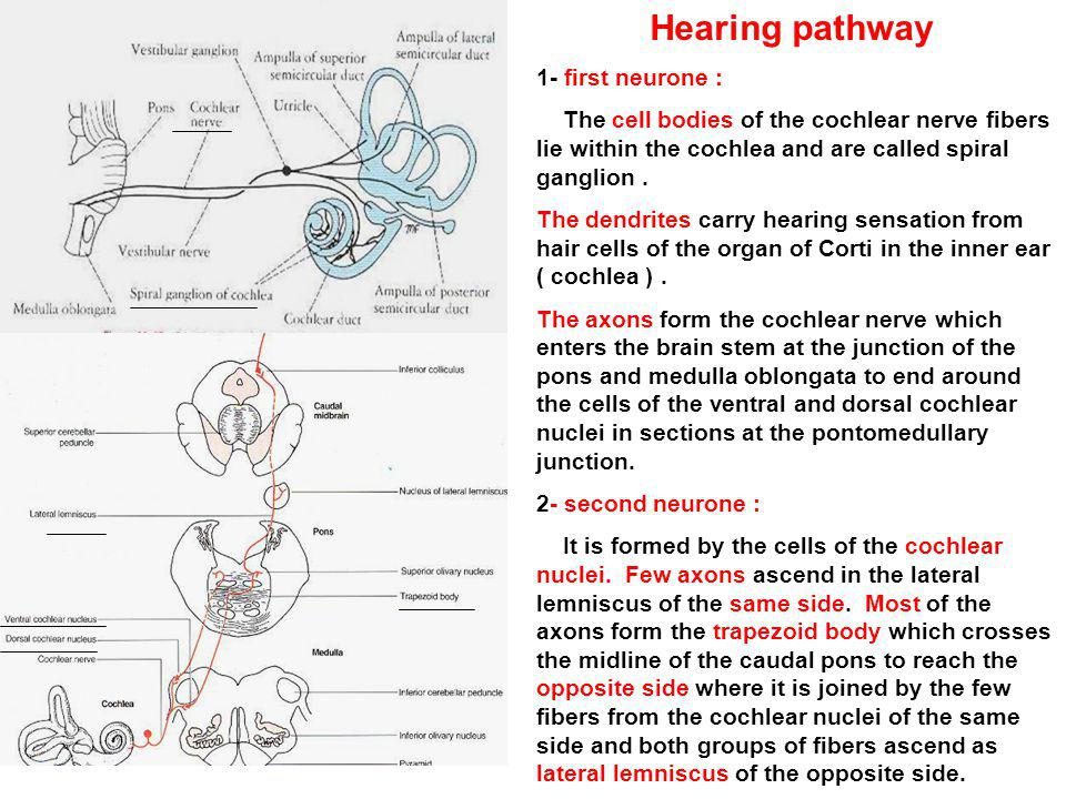 Hearing pathway 1- first neurone :