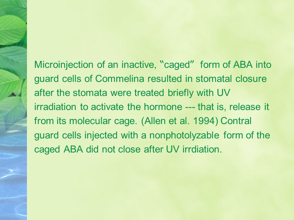 Microinjection of an inactive, caged form of ABA into