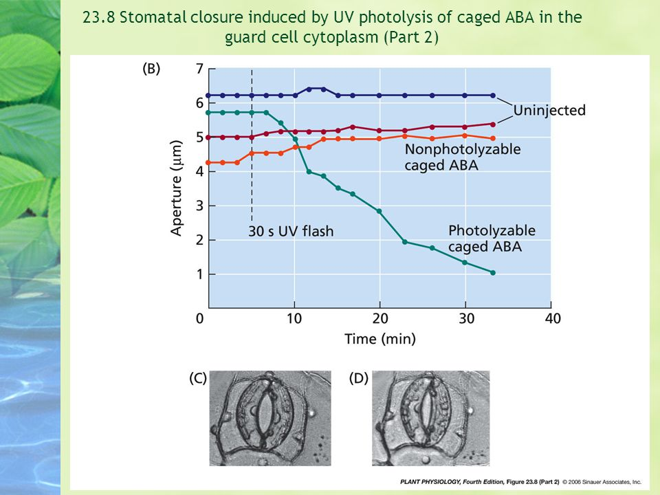 23.8 Stomatal closure induced by UV photolysis of caged ABA in the guard cell cytoplasm (Part 2)