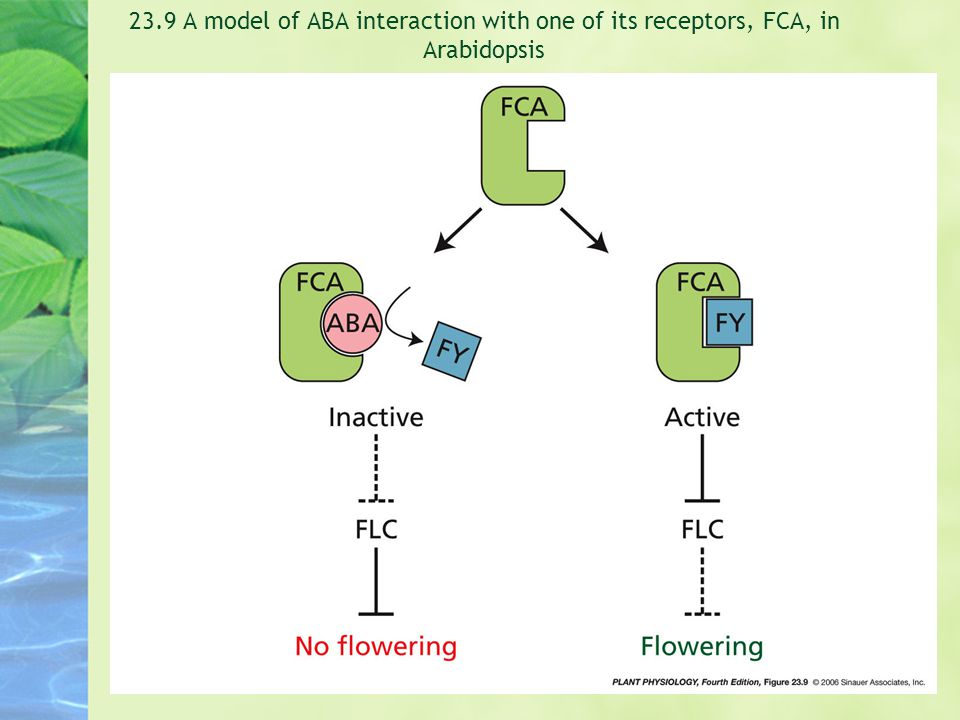 23.9 A model of ABA interaction with one of its receptors, FCA, in Arabidopsis