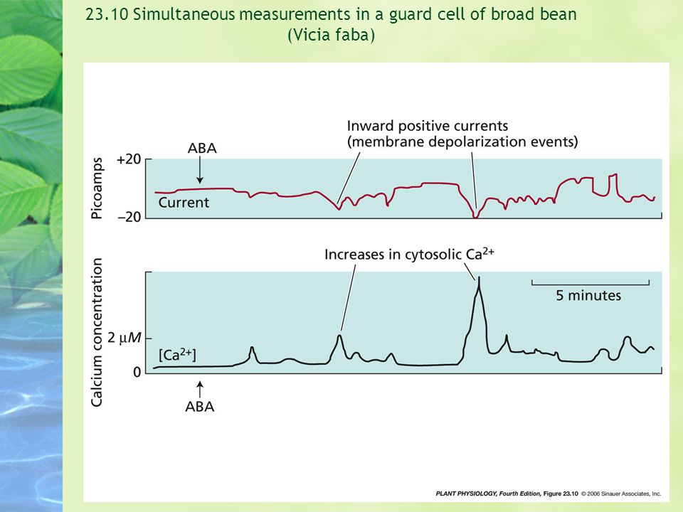 23.10 Simultaneous measurements in a guard cell of broad bean (Vicia faba)