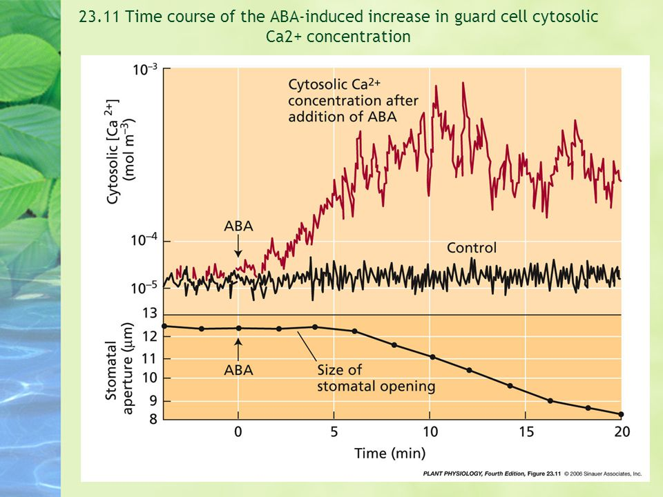 23.11 Time course of the ABA-induced increase in guard cell cytosolic Ca2+ concentration