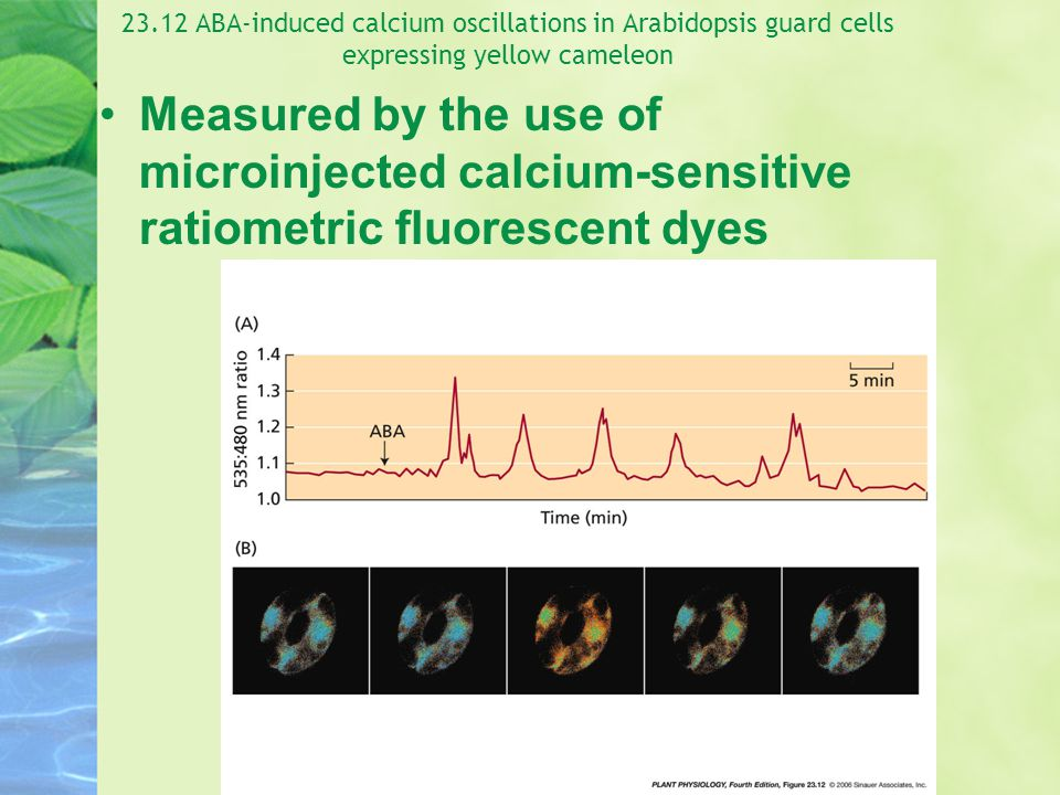 23.12 ABA-induced calcium oscillations in Arabidopsis guard cells expressing yellow cameleon
